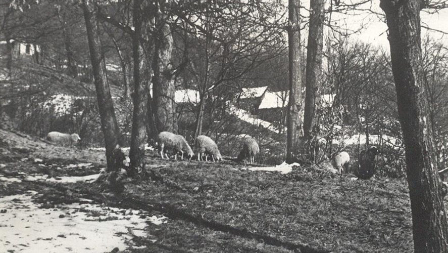 Miazzina_pecore